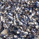 školjke na plaži