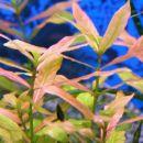 Hygrophila in njeni mehurčki pod list..