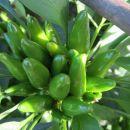 Pušeljc zeleni