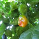 Mladi Habanero red
