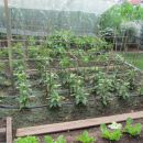 junij 2013 chilli parcela