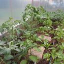 Levi del rastlinjaka paradajz in rdeča paprika