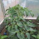 paradajz v cvetenju v rastlinjaku