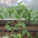 paradajz v rastlinjaku