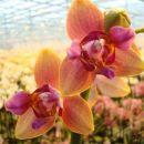 Mutacija notranjih cvetnih listov - petal. Posledica je peloričen cvet