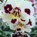 Izvorna oblika harlekin falenopsisa P. Anthura Cordoba