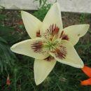 lilija