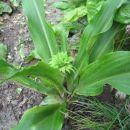 ananas lilija