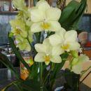 Kupljena v Kalii januarja,na dnevih orhidej,še zdaj cvete!