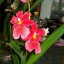 Rešena kambrija,ki me je presenetila s cvetkom in se pokazala v svoji lepoti