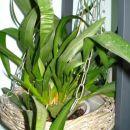 Tud ena izmed 1.orhidejc,kupljena znižana