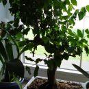 Neobdelan bonsajček,tud rešen iz baumaxa,kraljuje med orhidejami