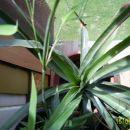 Ananas 2 leti slikan od zgoraj