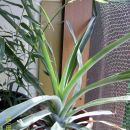 Ananas star 2 leti rad ima sončno lego in malo vode