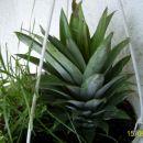 Nasadi ga v črno zemljo najbolša za zelene rastline ali zemljo za balkonske rože.Zaliješ i