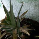 Ananas po dveh tednih če so se posušili vsi listi se žal ni prijel.