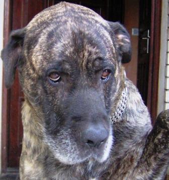 Srpski odbrambeni pas S.O.P. - foto