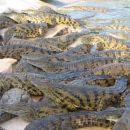 400 krokodilov čaka na kosilo