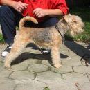 Slicey Urphee lakeland terrier