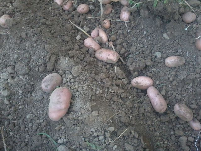Krompir 2012 - foto