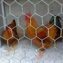 kokoš kokoši kure