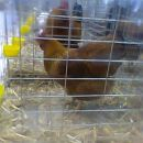 new hampshire razstava ptuj kokoš kokoši