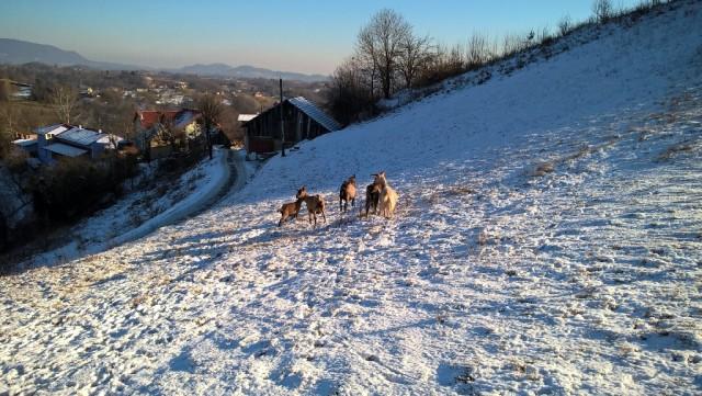 2016-12-30_Cerovačke koze_2