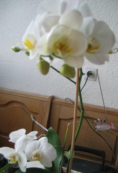 Bela orhideja - cvetenje 2005.