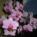 Moja čisto prva orhideja (gostimo jo že 5 let) spet cveti...le malo mesecev je,da nas ni r