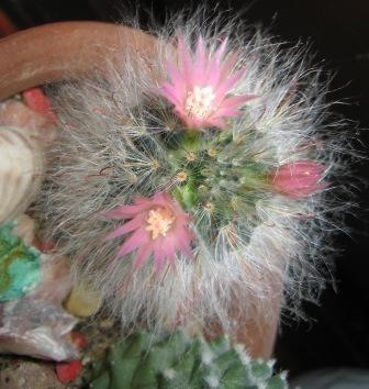 Cvetenje 2007 - še trije cvetovi...