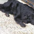 utrujeni Mungo po sprehodu - ODDAN
