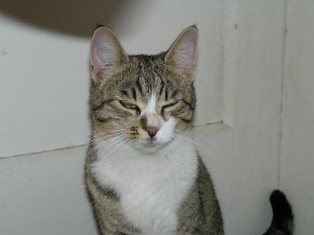 Najden tigrasto-bel maček na igrišču pri Kebetovi, njegov skrbnik naj se javi na 051-213-6