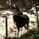 zanimiva žival, mešanica med zebro, hijeno z zelo dolgim jezikom