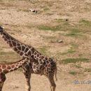 žirafi katerima so zebre odgriznile rep
