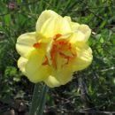 Narcisa 2