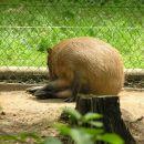 kapibare