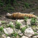 sibirski tiger