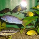 Samici Pseudotropheus Acei in spodaj Melanochromis Auratus
