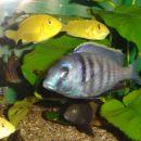 Placidochromis sp.