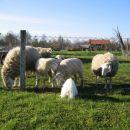 sosedove ovčke so pa vsakdanja atrakcija