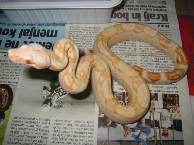 Albino boa - foto