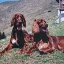 Pasji dami Flora in Dina na Golici