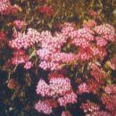 achillea millefolium 'Kelwayi'