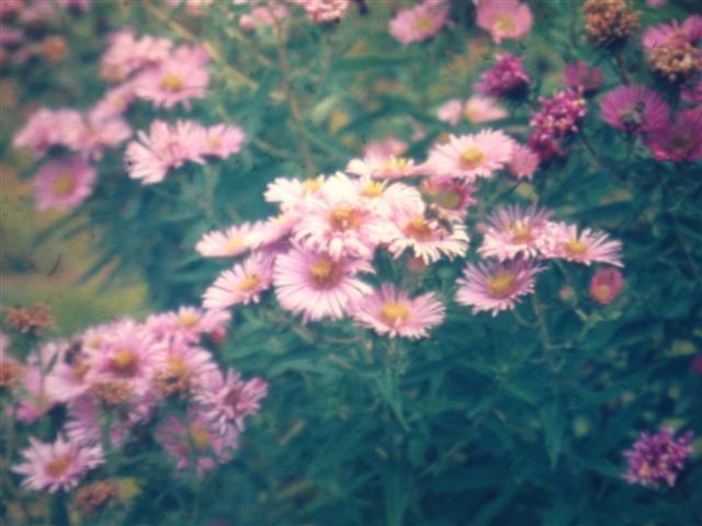 Aster novae-angliae 'Harrington Pink'