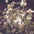 achillea ptarmica