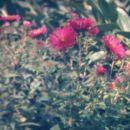 aster novae-angliae 'septemberrubin'
