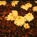 chrysanthemum maximum 'wirral pride'