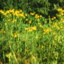 rudbeckia lanciniata