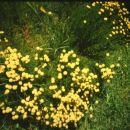 santolina rosmarinifolia, po novem: Santolina virens