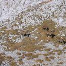 Kozorogi tik pod vrhom Debelega vrha